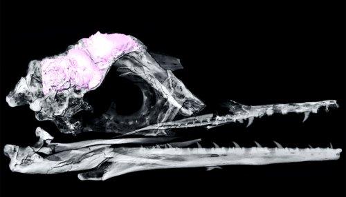 Brain shape may explain how birds survived dinosaur extinction - Futurity