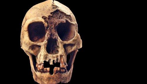 Skull simulation reveals how 'Hobbits' chomped on food - Futurity