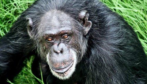 Fake 'grammar' shows apes get language basics - Futurity