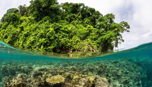 Mangroves offer coral reefs a refuge from stress - Futurity