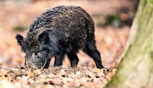 Wild pigs release more CO2 than 1 million cars - Futurity
