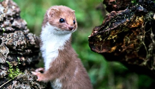 Once common weasels are doing a vanishing act - Futurity