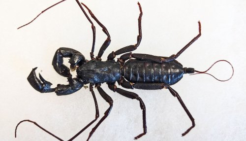 You can chill out about the giant whip scorpion - Futurity