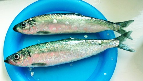 'Pauses' could prevent forage fish collapse - Futurity