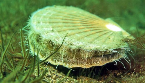 Scallops rebound in Scotland's protected bay - Futurity