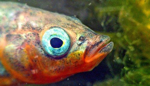 Ocean stickleback fish adapt to lake life quickly - Futurity