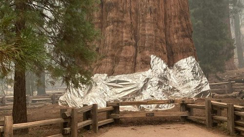 General Sherman, the world's largest tree, is wrapped in fire-resistant blanket as wildfires threaten park
