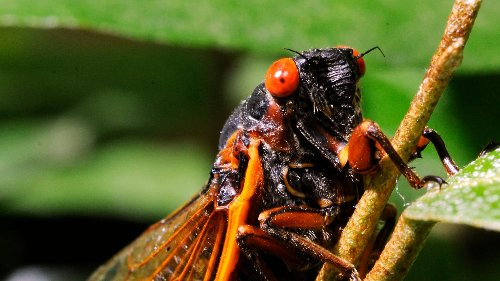 Brood X periodical cicadas, underground for 17 years, ready to reemerge and make some noise