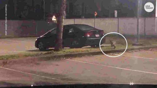 Cat runs coyote off from parking lot