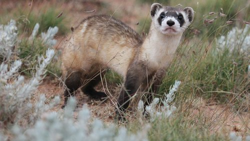 Black-footed ferrets were nearly extinct. Here's how landowners want to help bring them back