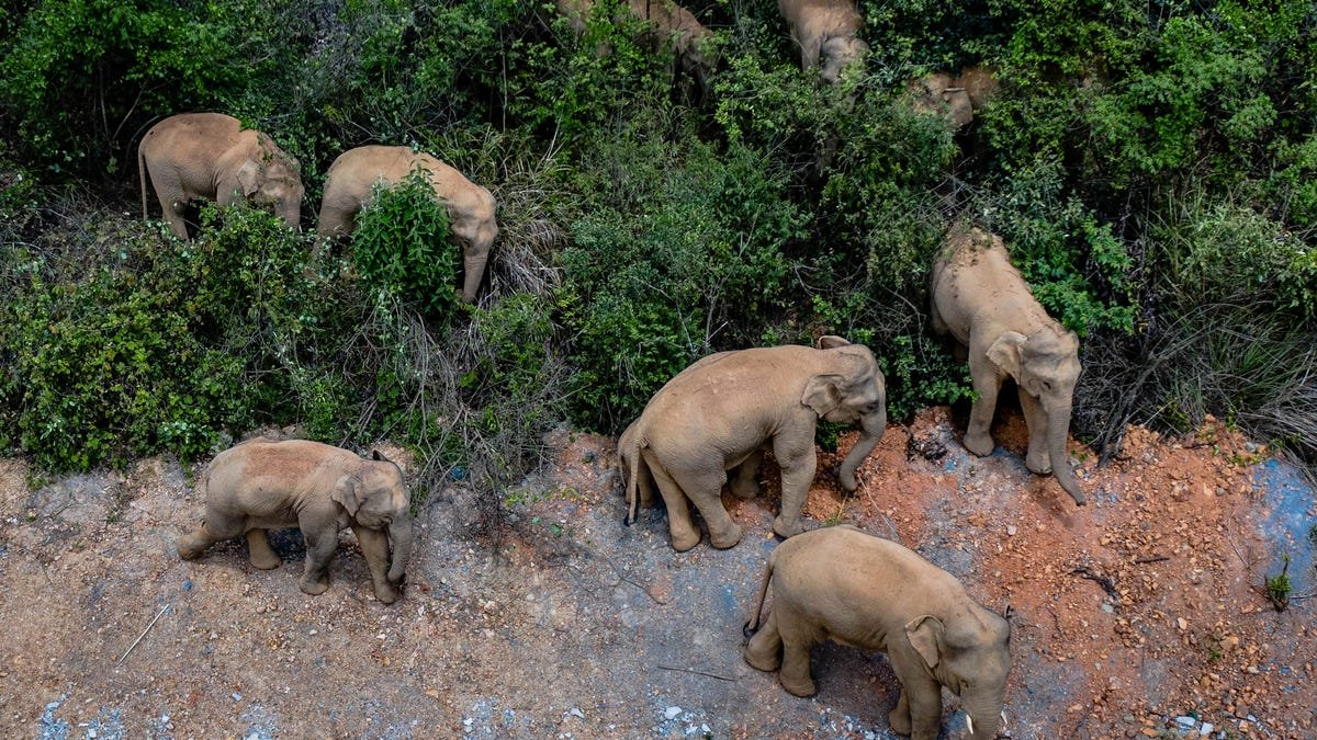 Chinese authorities are trying to keep 15 wandering elephants out of a city of 7 million people