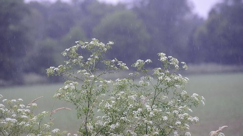One of the 'deadliest plants in North America' is blooming. What to know about poison hemlock