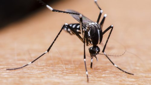 These mosquitoes 'prefer to bite people.' Meet the invasive insect ravaging the West Coast