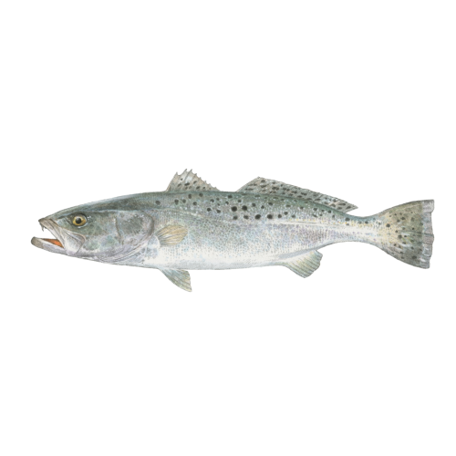 Reeling in Speckled Trout