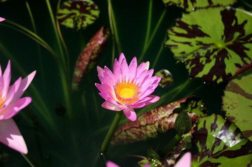 The Water Lily Whisperer