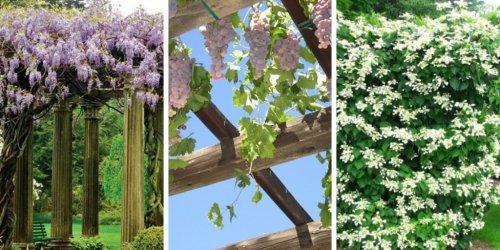 Top 19 Plants for Pergolas: The best climbing Pergola Plants