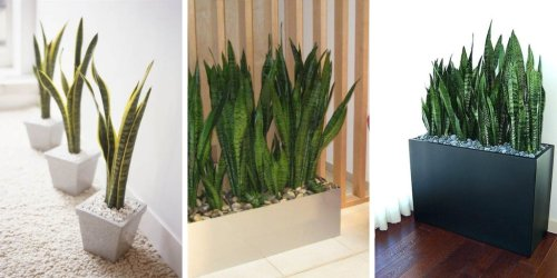 7 Great Benefits Of Snake Plants You Didn't Know About