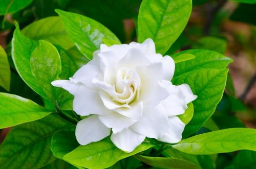 Learn How to Grow and Care for Your Gardenia