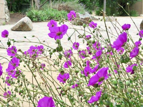 Gardening 101: Rock Purslane - Gardenista