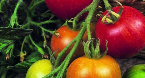 How to Successfully Grow Tomatoes: A Field Guide to Planting, Care, and Design on Gardenista