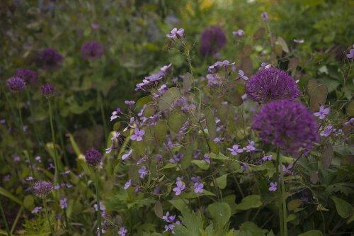 Gardening 101: Honesty - Gardenista