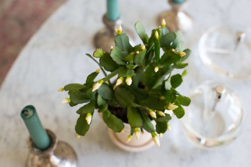 Easter Cactus: Tips on How to Grow and Care for a Tropical Houseplant on Gardenista