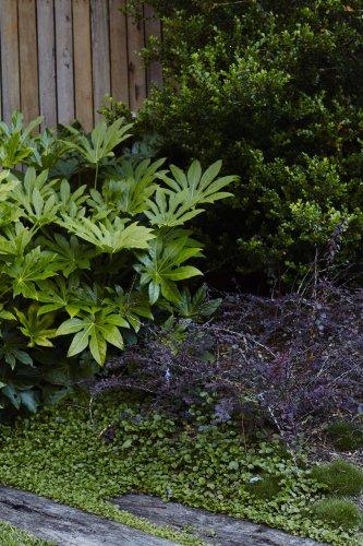 Gardening 101: Japanese Aralia - Gardenista