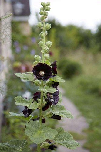 Gardening 101: Hollyhocks - Gardenista