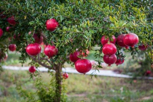 Gardening 101: Pomegranate - Gardenista