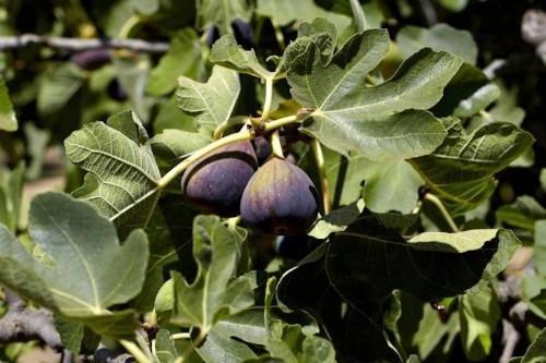 Gardening 101: Common Fig - Gardenista