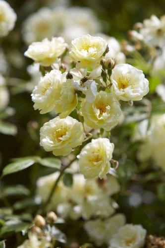 10 Things Nobody Tells You About Roses