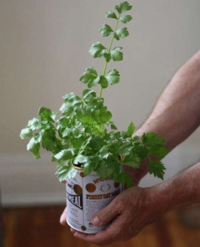 DIY: An Easy Way to Grow Celery from Its Root - Gardenista