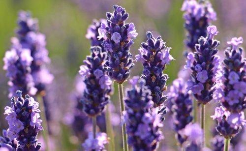 Lavendel jetzt schneiden – auch wenn es weh tut!