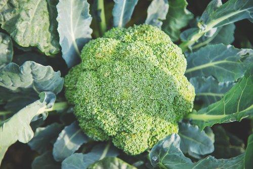 Brokkoli – ein echter Tausendsassa