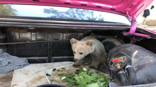 Bartın'da saldırıya uğrayan yavru ayı ormana bırakıldı