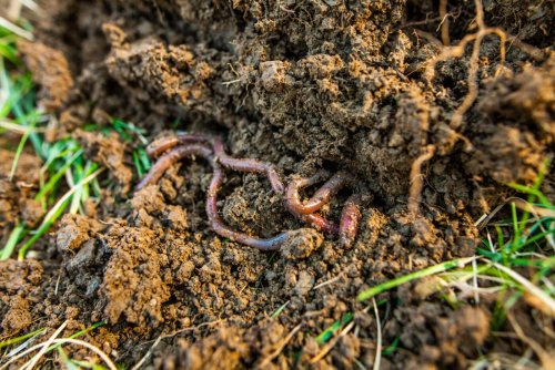 Earthworms May Play Key Role in Reducing Antibiotic-Resistance Genes in Soil