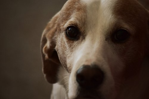 Aging Research Banks on Man's Best Friend in Life and Death