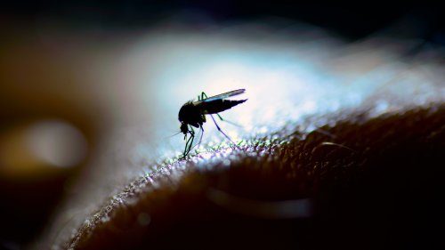Mosquito Protein Lights Up Optogenetic Brain Studies