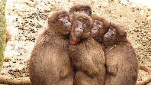 5 Affen geklont: Forscher pflanzen ihnen erschreckendes Gen ein