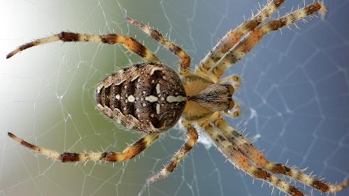 Sie verstecken sich in Möbeln: Das Gift dieser Spinnenart lässt menschliche Haut verwesen