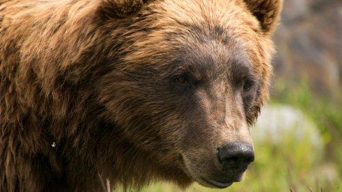 Grizzly verfolgt Mann eine Woche lang – was hinter dem ungewöhnlichen Verhalten steckt