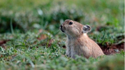 Überlebensstrategie im Winter: Pfeifhasen fressen Kot