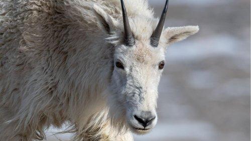 David gegen Goliath: Ziege tötet Grizzly - mit ihren Hörnern