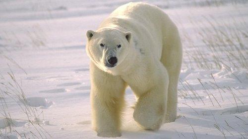 Eisbären erweisen sich als schlechte Eierdiebe