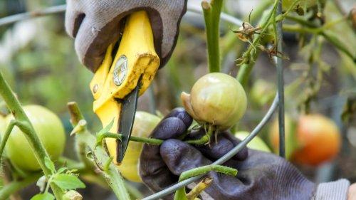 Braunfäule: Was gegen die Tomatenkrankheit hilft