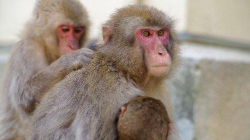 Erstaunliches Verhalten: Makaken-Dame boxt sich an die Spitze von 677 Affen