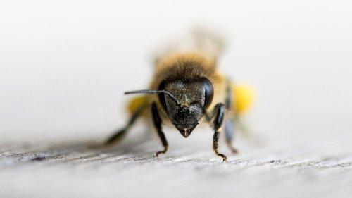 Trainierte Bienen sind dazu in der Lage, Covid-19-Infektionen zu erkennen
