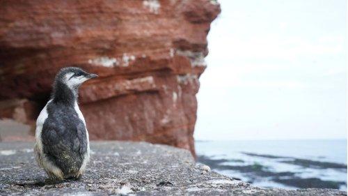 Sturz ins Meer: Der Lummensprung auf Helgoland hat begonnen