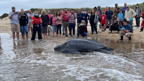 Nach Strandung gerettet: Riesige Meeresschildkröte robbt unter Applaus zurück in den Atlantik