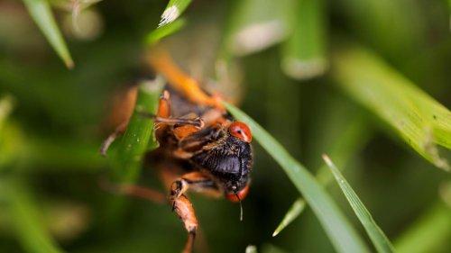 Seltenes Naturspektakel: Milliarden Zikaden kriechen in den USA aus dem Boden